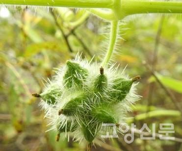 가시박 열매. [사진제공=에코코리아]